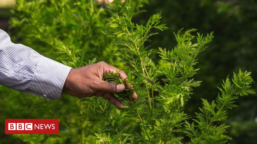 Coronavirus: What do we know about the artemisia plant?