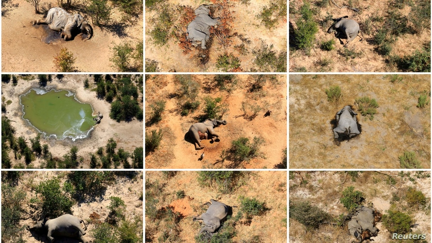 Botswana blames mysterious elephant deaths on cyanobacteria