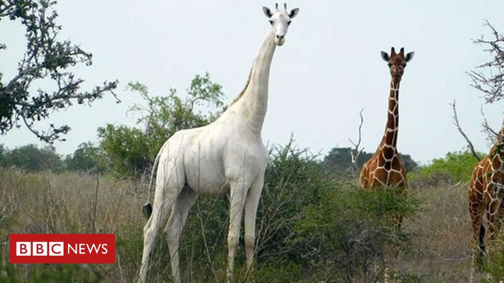World's only known white giraffe fitted with tracker to deter poachers