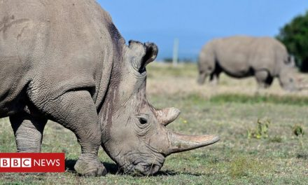 Northern white rhinos: The audacious plan that could save a species