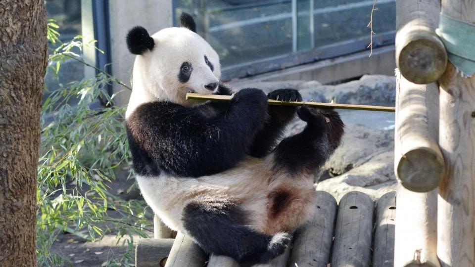 Pandemic pushes back return of popular Tokyo panda to China