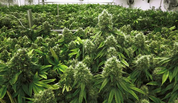 Morocco to legalise cannabis production for medical use
