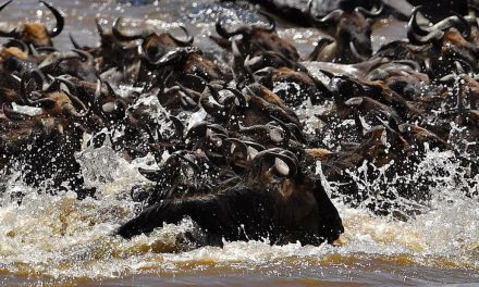 A massive animal migration is still happening in the Maasai Mara. But the pandemic means few can witness it