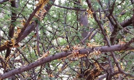 FAO warns of new locust invasion threat in East Africa