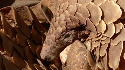 How South African police are tackling pangolin smugglers