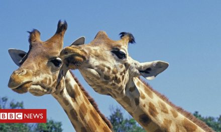 Kenya: Endangered giraffes killed by low power lines