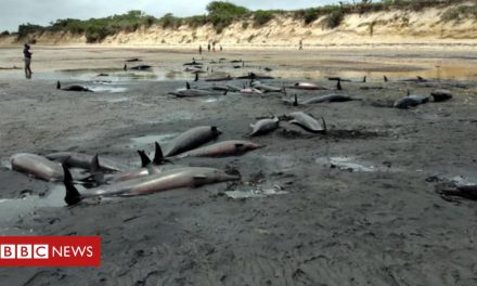 Dozens of dolphins found dead on Mozambique beach