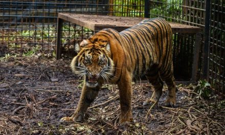 Zookeeper killed after tigers escaped from cage