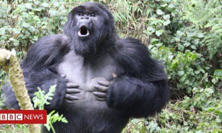 Secrets of gorilla communication laid bare