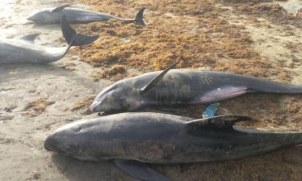 Dead dolphins and fishes washed ashore in Ghana