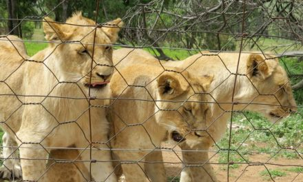 South Africa to clamp down on captive lion breeding