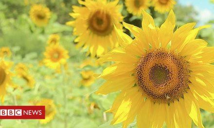 Sunflower farming blooms in Kenya after khat export ban